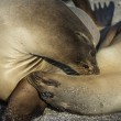 Close Up of Two Sea Lions in the Galapagos Islands — Stock Photo