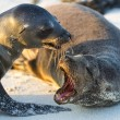 Couple of sea lions, Galapagos islands — Stock fotografie