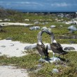 Blue footed booby birds of Galapagos islands — Stock Photo