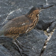 Стоковое фото: Galapagos bird walking on lava