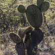 Humanoid cactus on Galapagos islands — Stock Photo