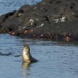 Galapagos sea lion looking from the water — Stock Photo