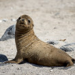 Stock Photo: Baby selion on Galapagos islands