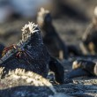 Many Marine Iguanas — Stock Photo