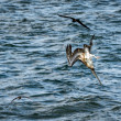 Stock Photo: Diving cormorant on Galapagos islands