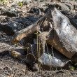 Stock Photo: Galapagos turtles mating