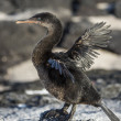 Stock Photo: Flightless Cormorant (Phalacrocorax harrisi), Galapagos.