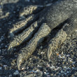 Close up of a marine iguana paw - Stock Photo