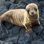 Sea lion resting — Stock Photo
