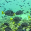 Blue surgeonfish — Stock Photo
