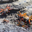A Sally Lightfoot Crabs (Grapsus grapsus) in the Galapagos Islands - Lizenzfreies Foto