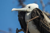 Magnificent frigatebird (Fregata magnificens) on Galapagos islands — Stock Photo