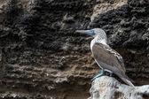 птица синий неглубокая олуша на галапагосские острова — Стоковое фото