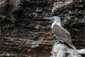 Uccello blu footed booby su isole galapagos — Foto Stock