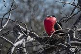 Frigate Bird courting display, Galapagos Islands — Stock Photo