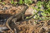 Lava lizard of Galapagos islands — Stock Photo