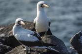 Seagulls on Galapagos islands — Stock Photo
