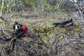 Frigate birds of Galapagos islands — Stock Photo