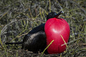 Frigate bird on Galapagos islands — Stock Photo