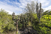 Galapagos green landscape with cactuses — Stock Photo
