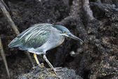 Galapagos fågeln gå på lava — Stockfoto