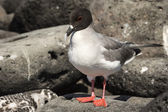 Lava gull on Galapagos islands — Stock Photo