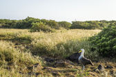 Galapagos Albatross — Stock Photo