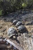 Galapagos Giant Turtles — Stock Photo
