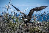 Galapagos frigate birds courting — Stock Photo