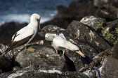 Seagulls on Galapagos islands — Stock Photo