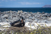 Galapagos frigate bird sitting on the nest — Stock Photo