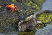 Iguana and crabs on Galapagos islands — Stock Photo