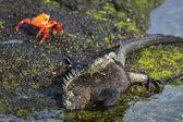 Iguana and crabs on Galapagos islands — Stock Photo