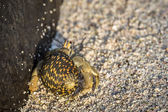 Galapagos hermit crab — Stock Photo