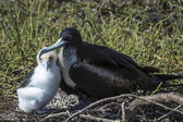 Great frigatebird (Fregata minor) feeding its chick — Stock Photo