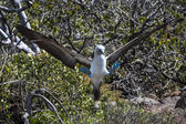 The Blue-footed booby birds on Galapagos islands — Stock Photo