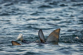 Fish fins above water, Galapagos islands — Stock Photo