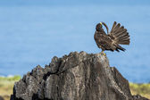 Adult Galapagos Hawk — ストック写真