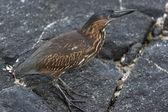 Galapagos pták chůzi na lávě — Stock fotografie