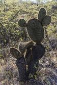 Humanoïde cactus op de galapagos eilanden — Stockfoto