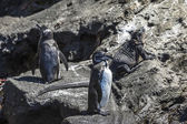 Galapagos penguins and iguana resting on the rock — Stock Photo