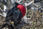 Frigate bird of Galapagos islands — Stock Photo