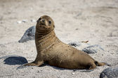 Baby sea lion on Galapagos islands — Stock Photo
