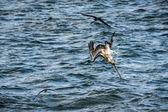 Diving cormorant on Galapagos islands — Stock Photo