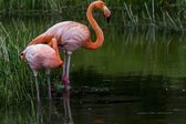 Galapagos Flamingos — Stock Photo