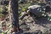 Galapagos Giant Turtle — Stock Photo