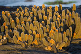 Galapagos cactus — Stock Photo