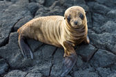 Sea lion resting — Stock Photo