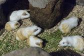 Guinea pigs inat ethnography park in Quito, Ecuador — Stock Photo