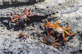 A Sally Lightfoot Crabs (Grapsus grapsus) in the Galapagos Islands — Stock Photo